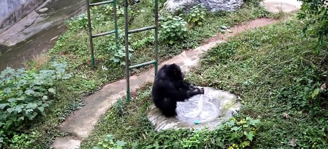 Chimpanzee Washing Clothes