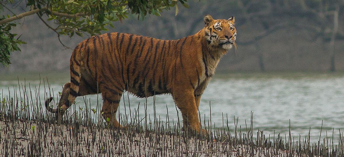 Tiger roar sunderban